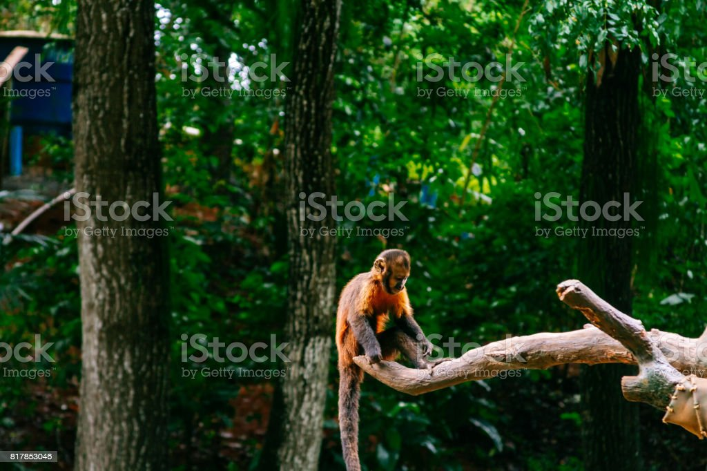 Golden-bellied capuchin monkey on a branch stock photo