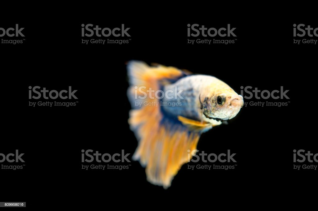 Goldenbetta in black background. stock photo