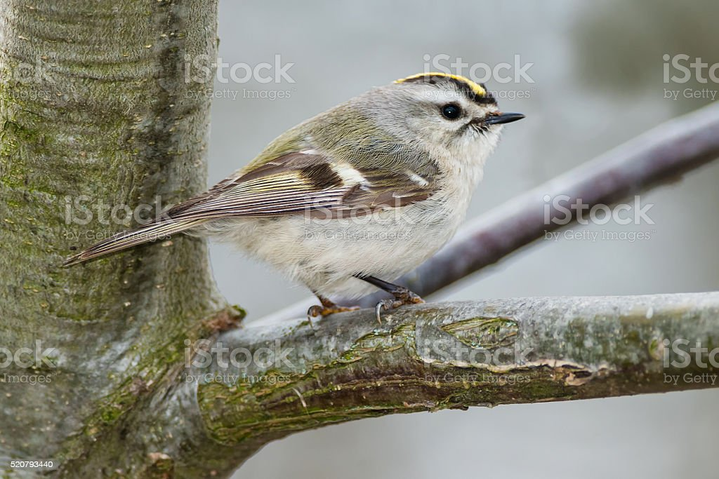 Golden-crowned Kinglet royalty-free stock photo