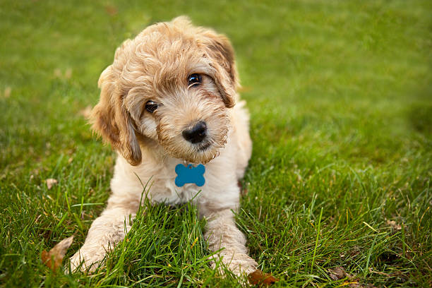 Goldendoddle puppy laying in grass picture id174938595?b=1&k=6&m=174938595&s=612x612&w=0&h=g1hs prqngesphlgdmpsihitmykey5qsbw3atl2nnlg=