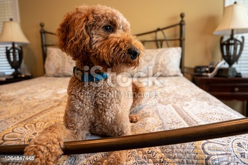 Goldendoodle dog laying on the bed looking away with paw on the footboard.