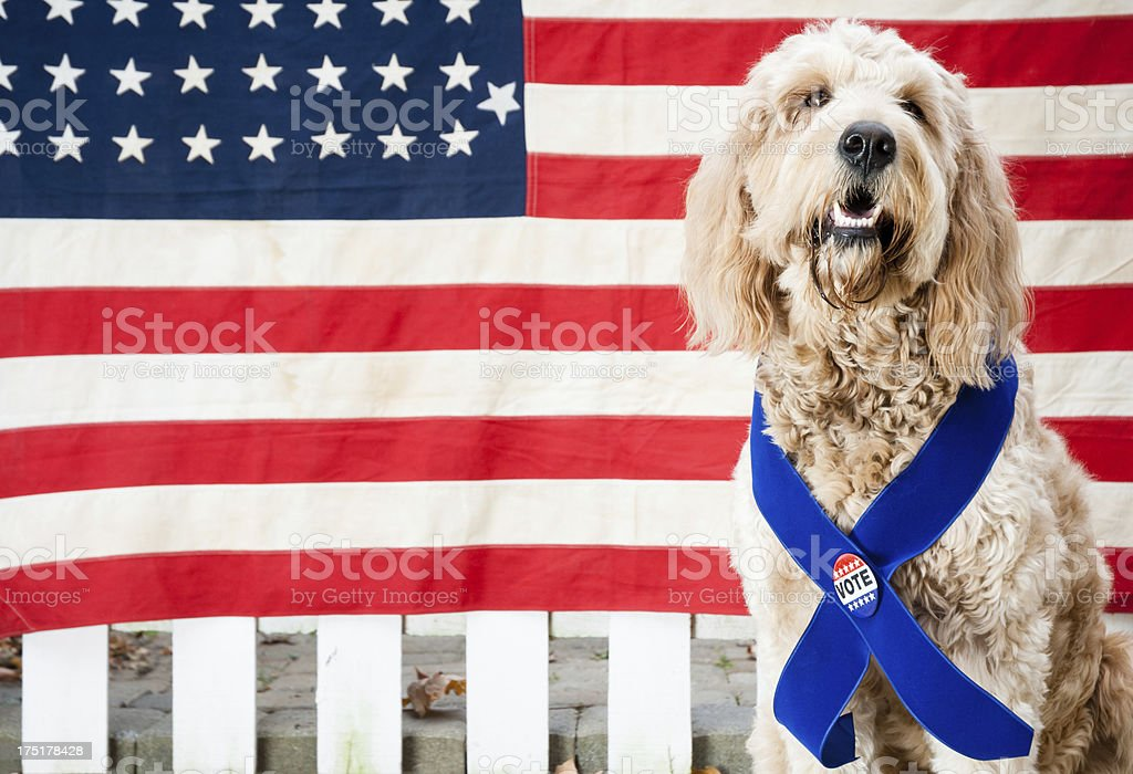 Golden-doodle dog wearing Vote button royalty-free stock photo