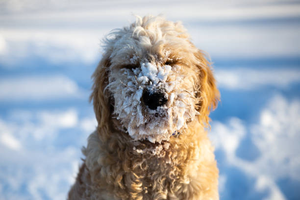 Goldendoodle in the Snow stock photo