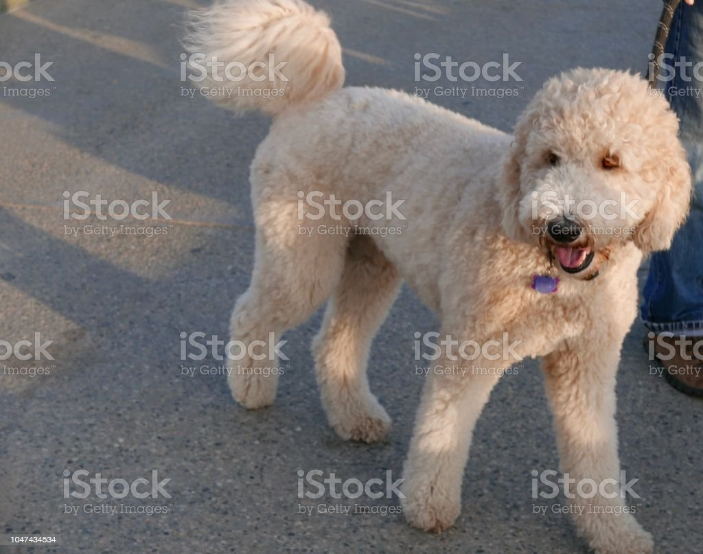 Goldendoodle Meets New Dogs Stock Photo & More Pictures of Animal