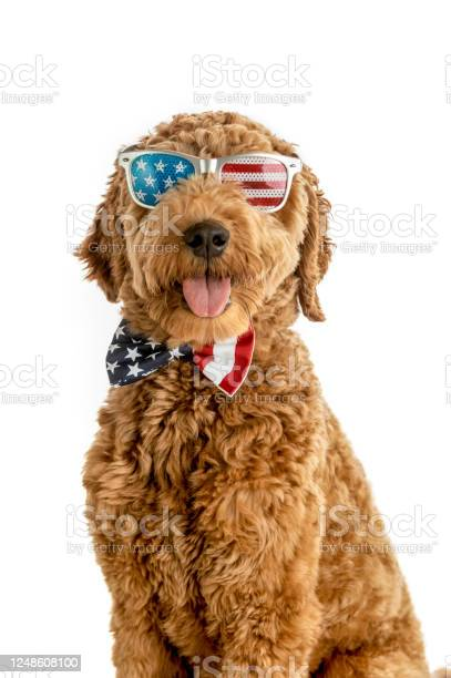 Goldendoodle puppy american flag studio portrait picture id1248608100?b=1&k=6&m=1248608100&s=612x612&h= hmibx6vcfzrn4bllzszkk6dtkvus1u88sbjprxckmq=