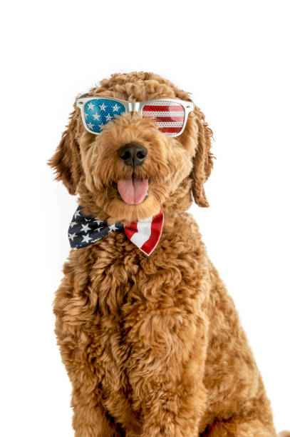 Goldendoodle Puppy American Flag Studio Portrait stock photo