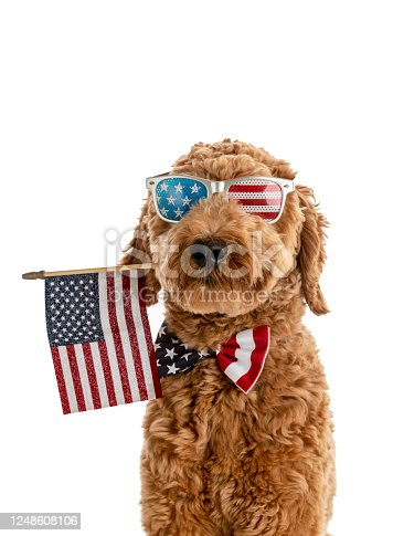 High quality stock photo of a Goldendoodle puppy with an American Flag bow tie.