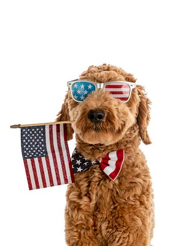 Goldendoodle Puppy American Flag Studio Portrait