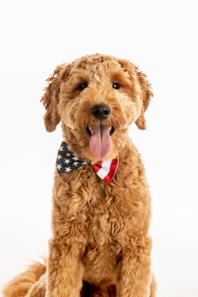 Goldendoodle puppy american flag studio portrait picture id1248608696?b=1&k=6&m=1248608696&s=612x612&w=0&h=b0a7huqercet6ewpmjffuktc9tdrobqn2wnvgdp7xe0=