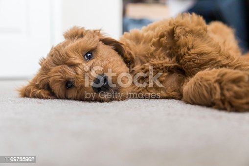 High quality stock photos of a young Goldendoodle puppy in a home in California.