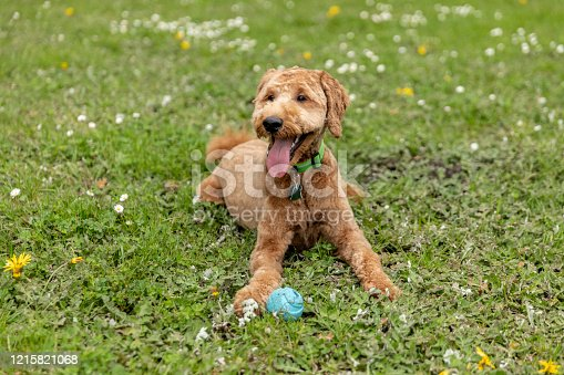 High quality stock photo of a Goldendoodle puppy playing at the park