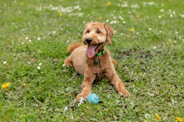 Goldendoodle Puppy in the Park Playing Fetch stock photo