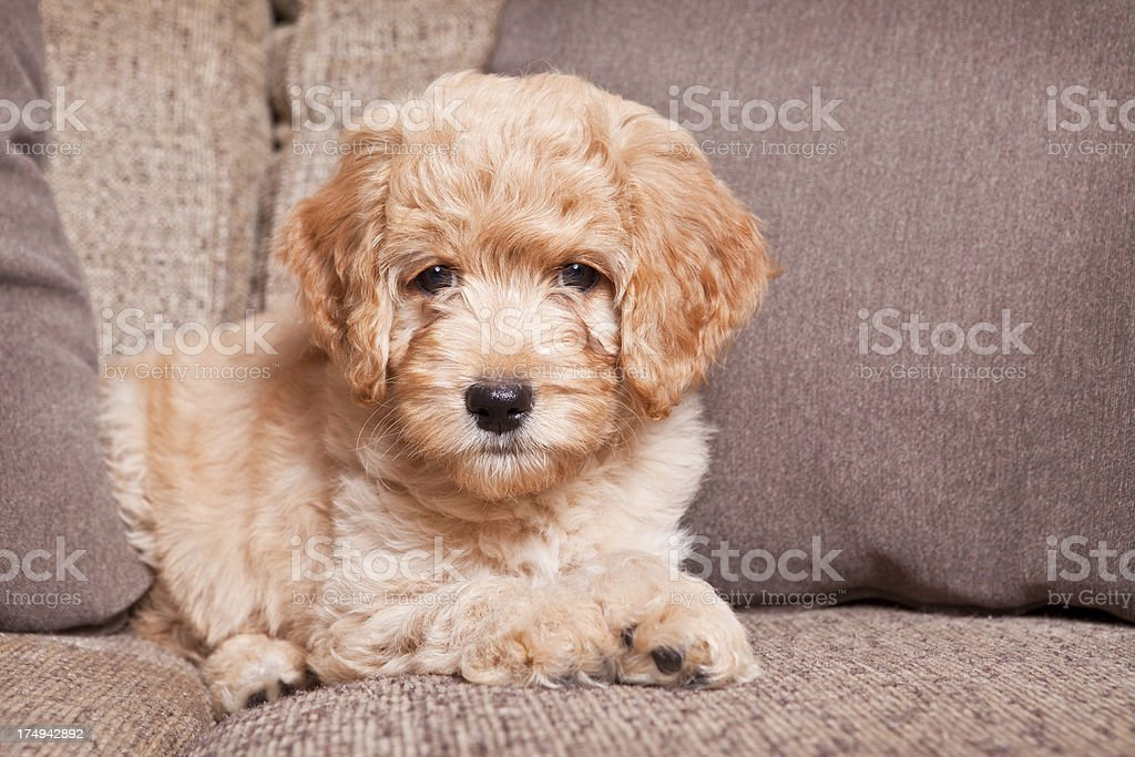 Goldendoodle Puppy Laying on Couch stock photo