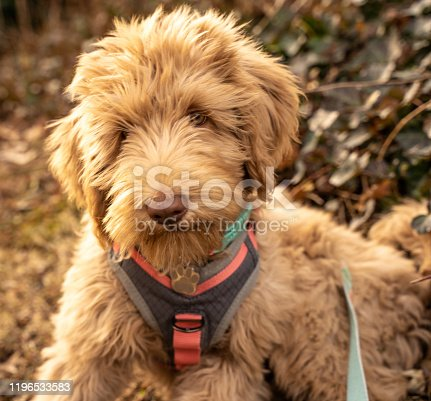 Adorable goldendoodle puppy looking at camera.