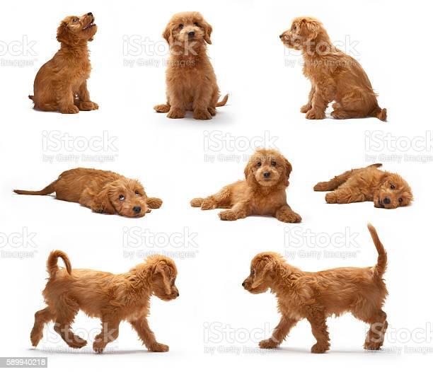 Goldendoodle puppy photo shoot montage picture id589940218?b=1&k=6&m=589940218&s=612x612&h=rnfwx3tvavhxnhzpz8pydc2xxsvipku b3hr0l9v1g0=