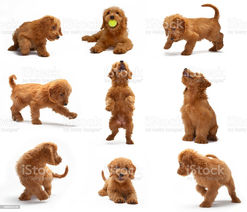 Goldendoodle puppy photo shoot montage – Foto