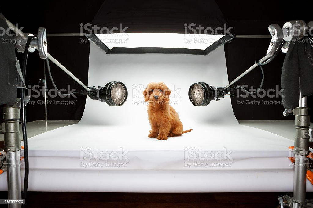 Goldendoodle puppy photo shoot stock photo