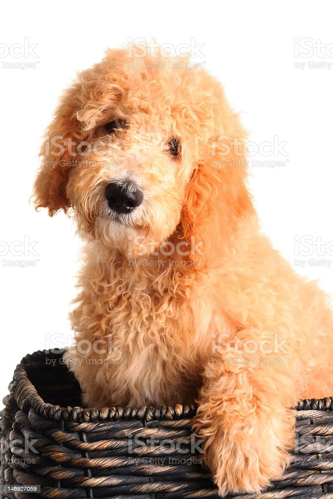Goldendoodle Puppy Stock Photo Download Image Now Istock