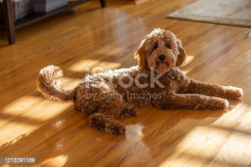 High quality stock photo of a Goldendoodle puppy sitting in a living room