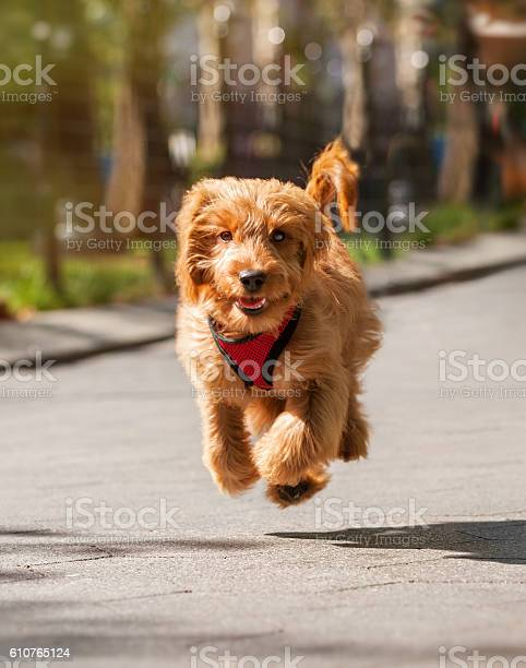Goldendoodle puppy running on the sidewalk in the city picture id610765124?b=1&k=6&m=610765124&s=612x612&h=4xrlhwpqwenrns9nuk67ggz temks6h hzfwuhgagrs=