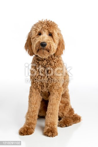 High quality stock photo of a Goldendoodle puppy on a white background