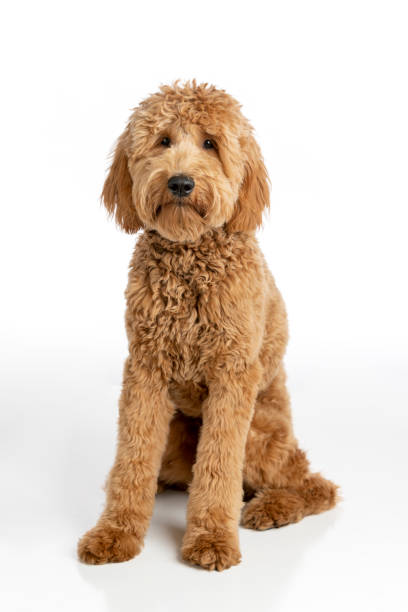Goldendoodle Puppy Studio Portrait stock photo