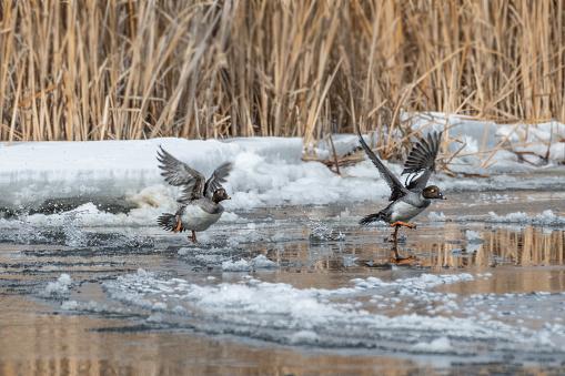 Goldeneye ducks take flight from icy water
