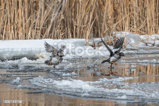 istock Goldeneye ducks lift off icy river 1300743106