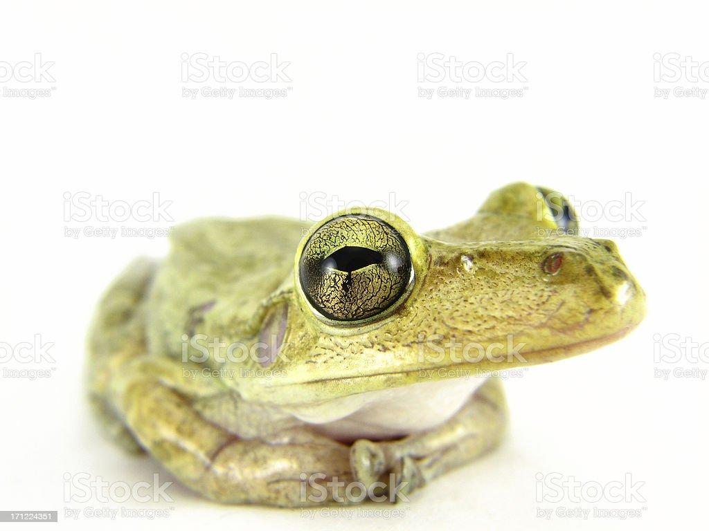 goldeneye royalty-free stock photo