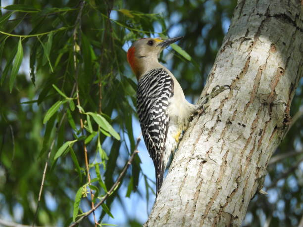 Golden-fronted woodpecker, close-up stock photo