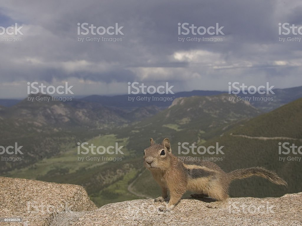 Golden-mantled ground squirrel royalty-free stock photo