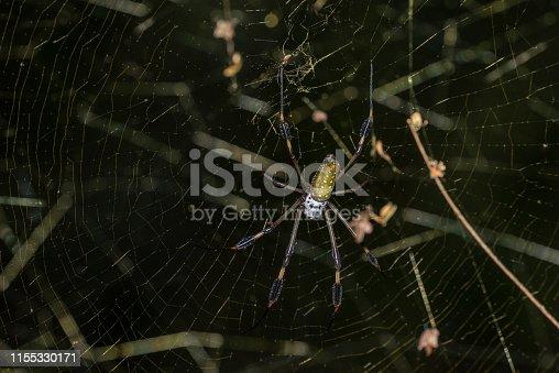 Name: Golden-orb spider, Golden silk spider, Golden-orb weaver Scientific name: Nephila family Country: Costa Rica Location: Cahuita National Park