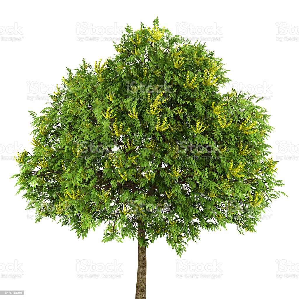Goldenrain tree isolated on white background royalty-free stock photo