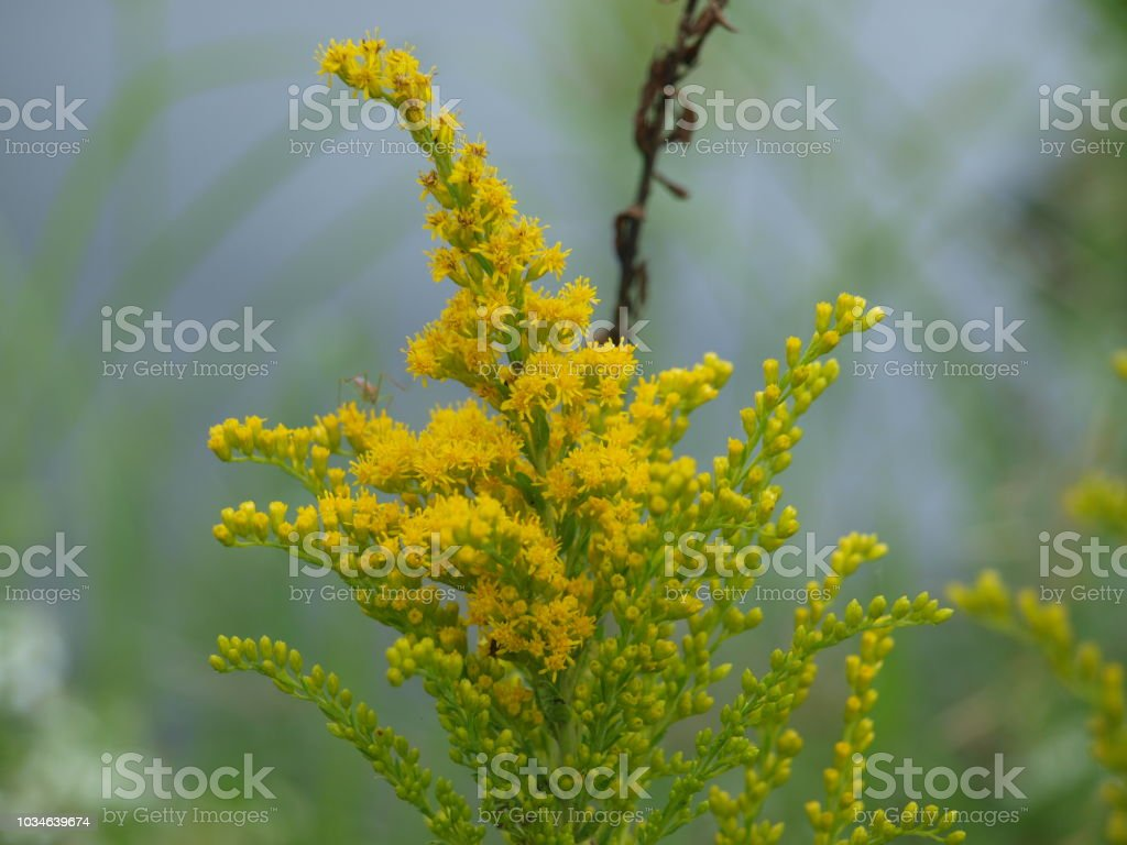 Goldenrod Beauty While Being An Allegerant stock photo