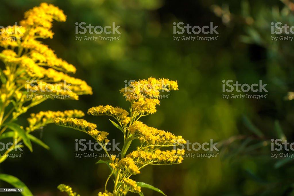Goldenrod. Field flower. – zdjęcie