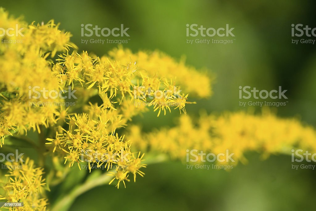 Goldenrod flower in blurred photo royalty free stockfoto