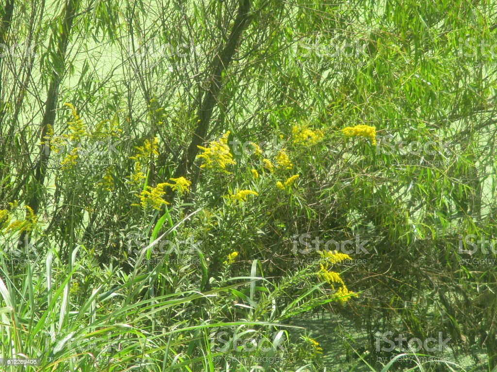 Goldenrod Growing Near Pond royalty-free stock photo