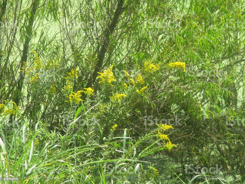 Goldenrod Growing Near Pond stock photo