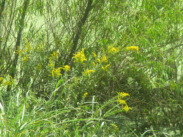 Goldenrod Growing Near Pond stock photo