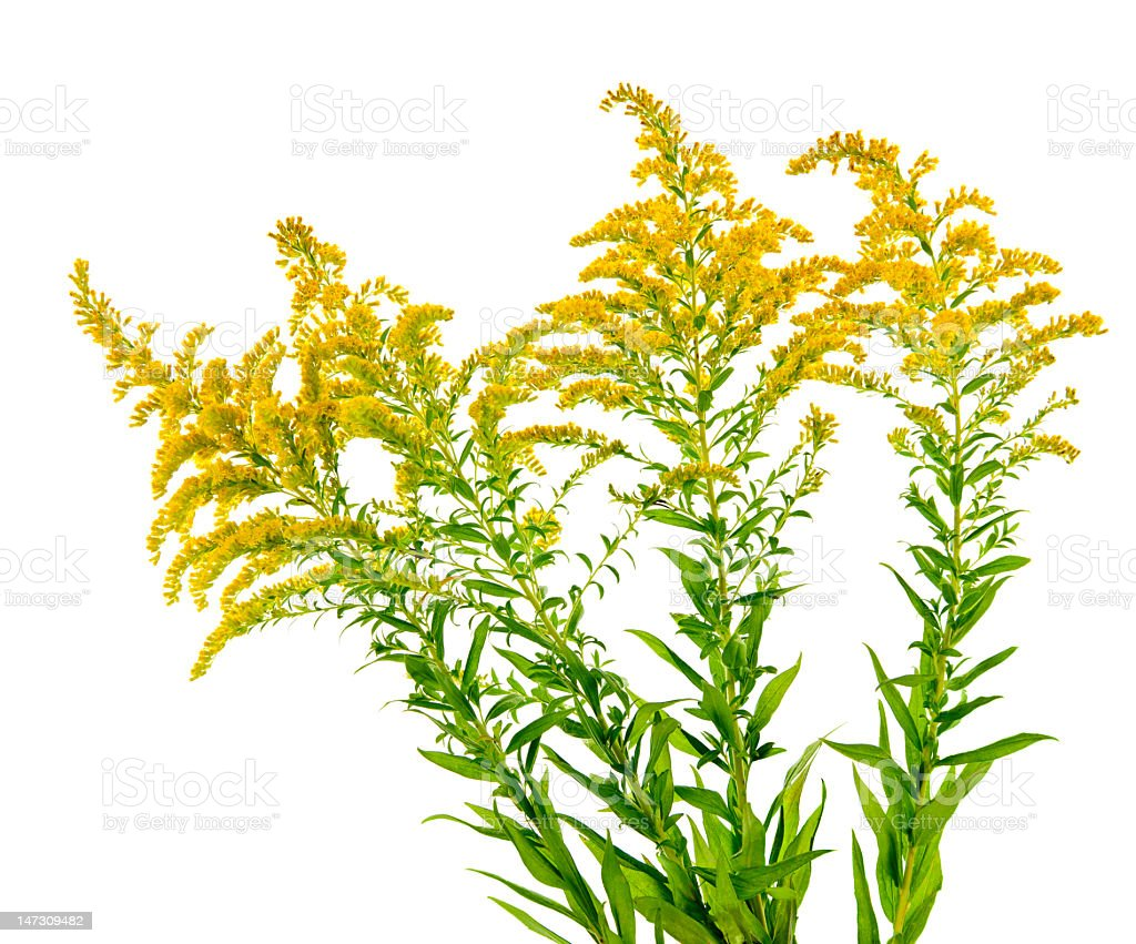 A goldenrod plant on white background stock photo