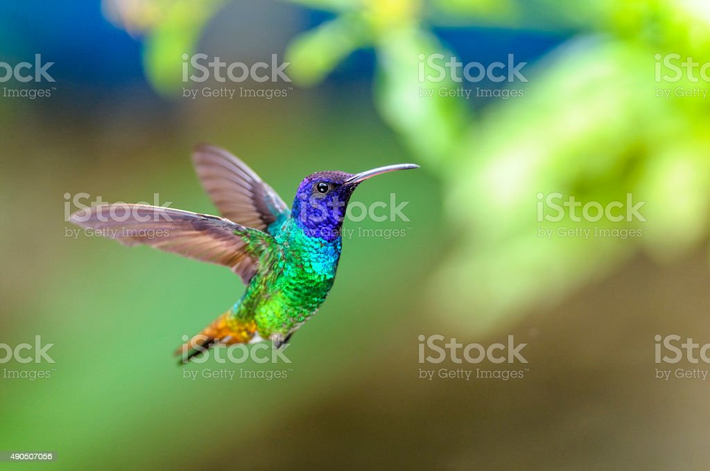 Golden-tailed Sapphire Hummingbird stock photo