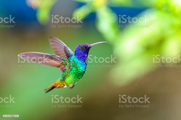Golden-tailed Sapphire (Chrysuronia oenone) (♂)  Small hummingbird flying and static suspended on a background of green leaves and plants and blue colors, with outstretched wings looking to the right
