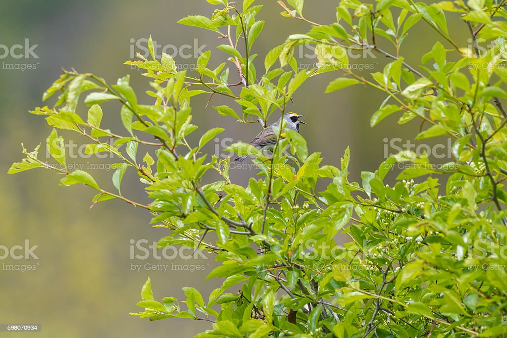 Golden-winged Warbler (Vermivora chrysoptera) stock photo