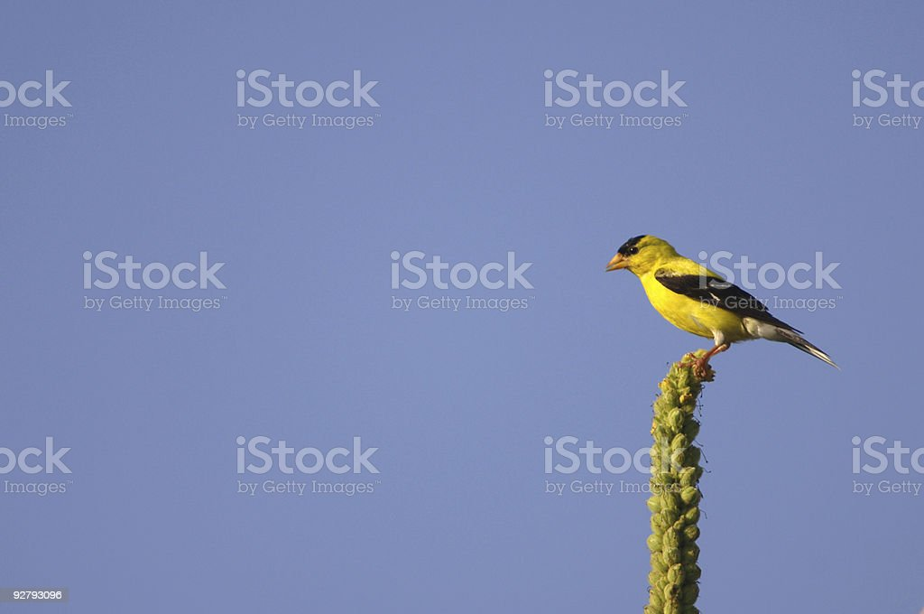 Goldfinch and blue sky royalty-free stock photo