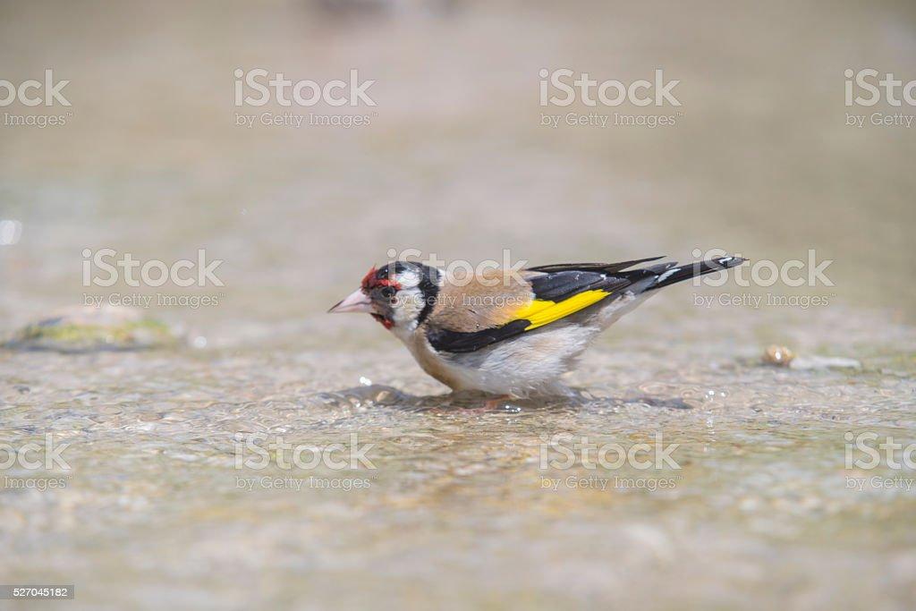 I goldfinch bathing stock photo