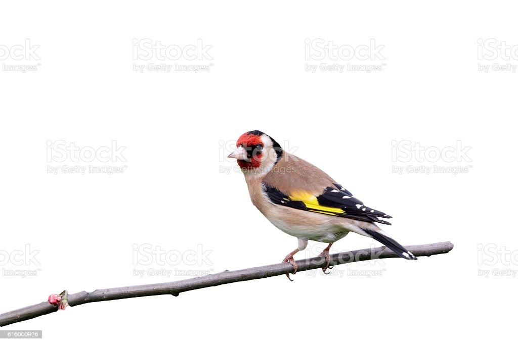 Goldfinch, Carduelis carduelis stock photo
