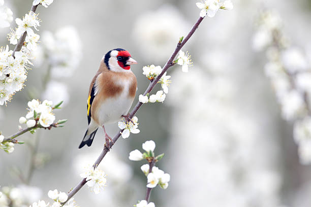 Goldfinch, Carduelis Goldfinch, Carduelis carduelis, single bird on blossom, Warwickshire, April 2012 gold finch stock pictures, royalty-free photos & images