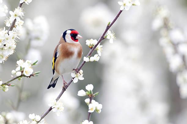 Goldfinch, Carduelis stock photo