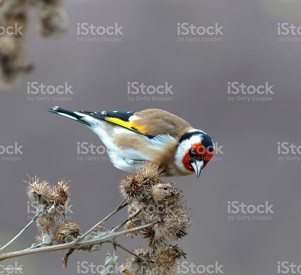 Goldfinch eating bur stock photo
