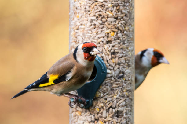 Goldfinch feeder Two goldfinches (Carduelis carduelis) on a bird feeder in a UK garden during Winter. Devon, December. gold finch stock pictures, royalty-free photos & images